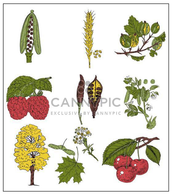 set of summer berries, grains and beans - Free vector #135079
