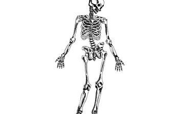 Hand Drawn Skeleton - Free vector #176939