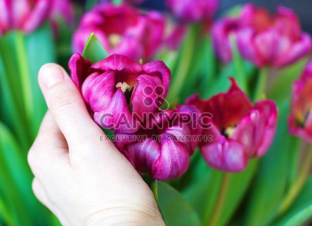 Розовые тюльпаны в руке - бесплатный image #182699
