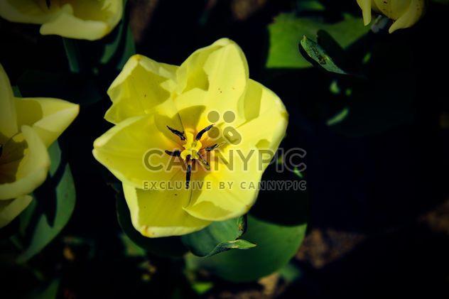 Желтый тюльпан крупным планом - бесплатный image #182849