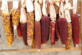 Raw corn cobs - image gratuit #182879