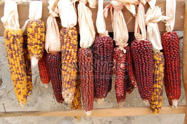 Raw corn cobs - Free image #182879