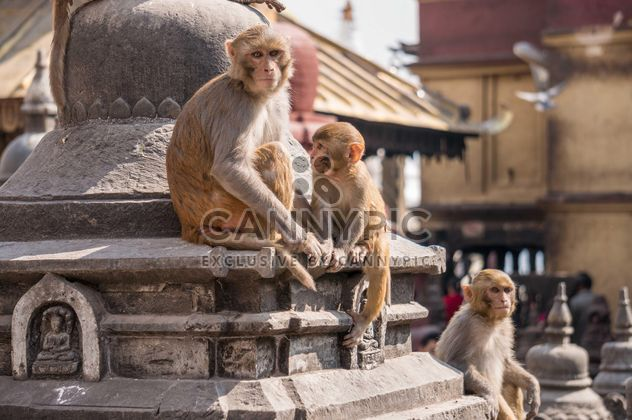 Family of monkeys at temple - Free image #183059