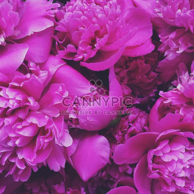 The Pink peony flores - image #183189 gratis