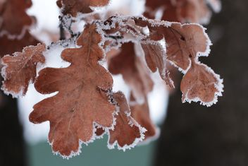 Closeup of oak leaves in winter - Free image #184019