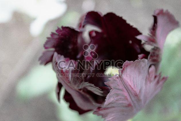 Чёрный Тюльпан - бесплатный image #184269