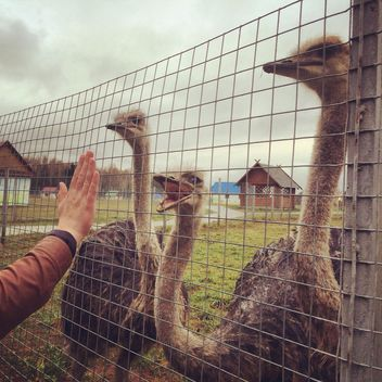 Ostriches on a farm - image gratuit #184419