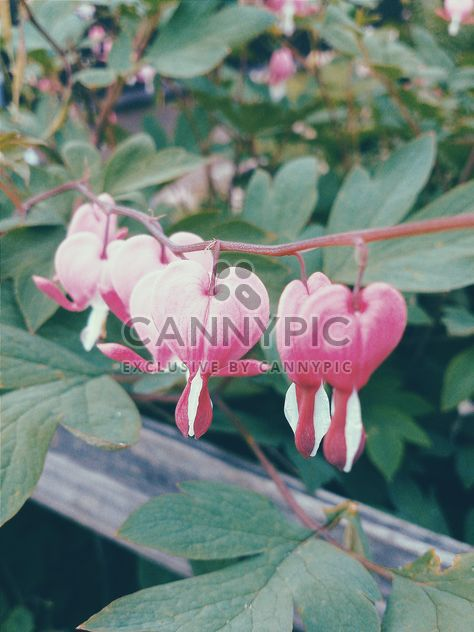 Closeup of pink flowers - Free image #184549