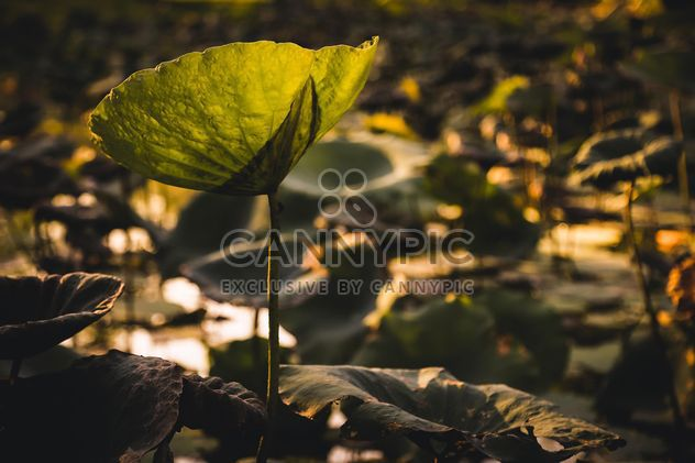 Lotus leaves in pond - Free image #186079