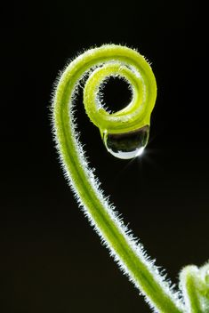 Curly twig with water drop - Free image #186129