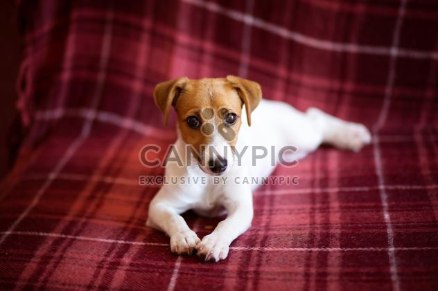 Chiot Jack Russell Terrier - Free image #186149