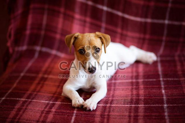 Cachorro de Jack Russell Terrier -  image #186149 gratis