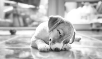 Puppy lying on floor - image #186289 gratis
