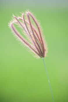 Close-up of spikelet on green background - image gratuit #186309