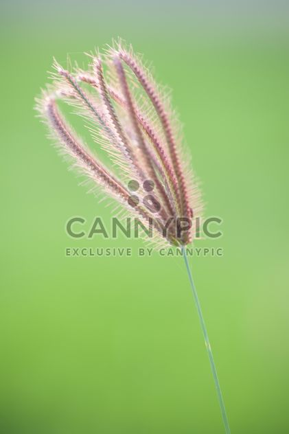 Close-up of spikelet on green background - Free image #186309