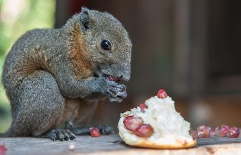 Squirrel eating pomegranate - бесплатный image #186399