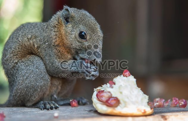Squirrel eating pomegranate - Free image #186399