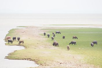 Buffaloes on pasture - image #186569 gratis