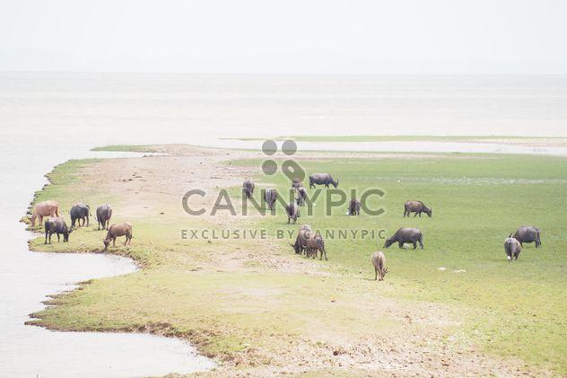 Buffaloes on pasture - Free image #186569