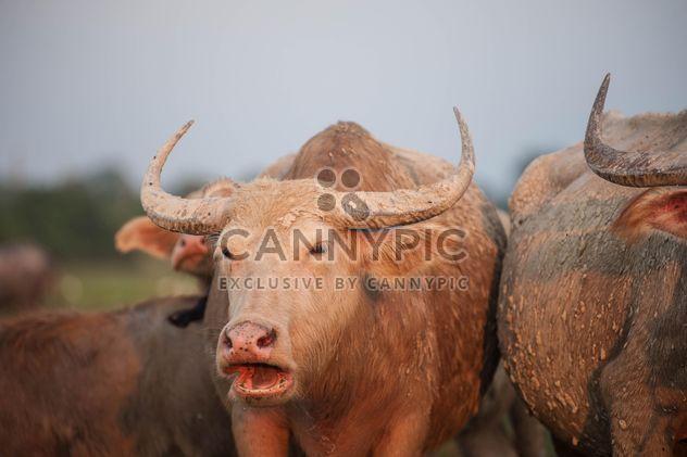 Blanco búfalos en pasto - image #186579 gratis