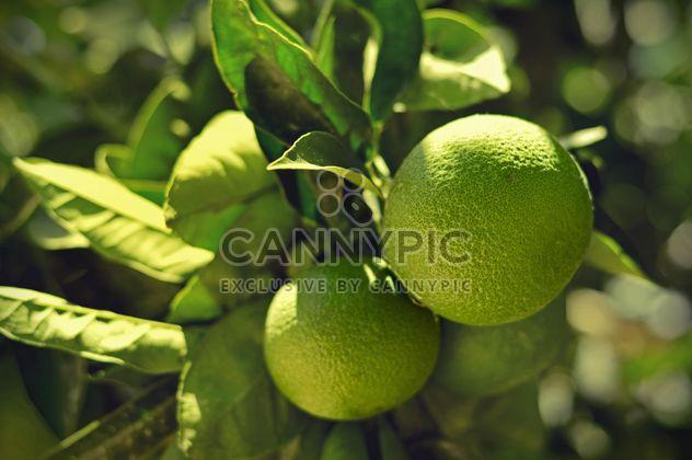 Lime fruits on tree - Free image #186709