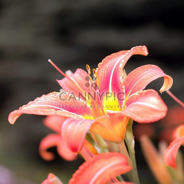 Wild lily flowers - Free image #186729