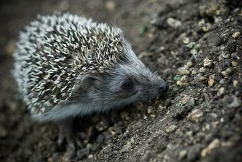 Cute hedgehog on ground - image #187709 gratis