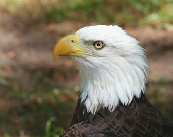 American Bald Eagle - image gratuit #187819