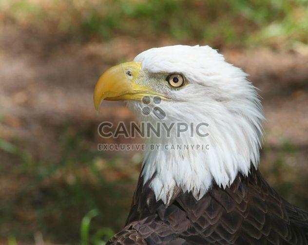 Águia careca americana - Free image #187819