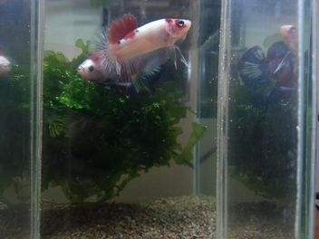 Siamese fighting fish in nano tank - бесплатный image #197999