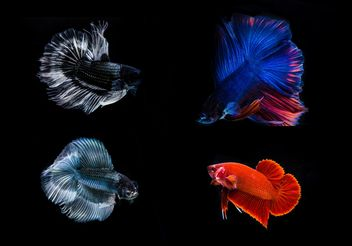 Siamese fighting betta fish - image gratuit #198069