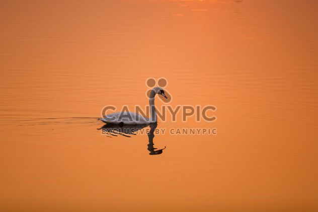 White swan on a background of orange sunset on the water - Free image #198569