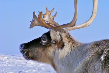 Reindeer - image #199009 gratis