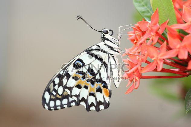 Junonia lemonias Butterfly - Free image #199039