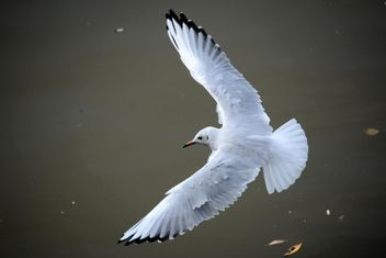 Seagull flying over sea - image #201439 gratis
