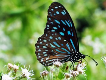 Dark Blue Tiger butterfly on flowers - image gratuit #201499