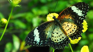 Butterfly on yellow flower - image gratuit #201529