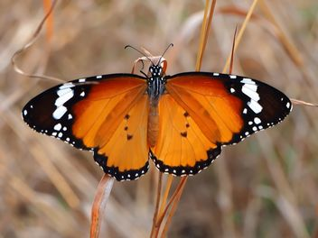 Brown butterfly on grass - Free image #201549