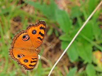 Orange butterfly - image #201559 gratis