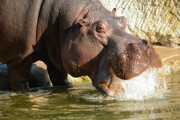 Hippo In The Zoo - image gratuit(e) #201589