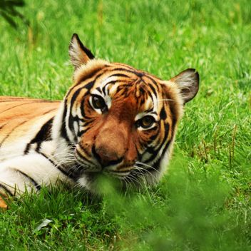 Tiger in the Zoo - Free image #201659