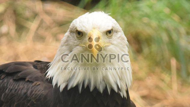 Portrait de l'aigle à tête blanche - image gratuit #201669