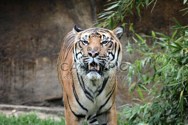 Тигр крупным планом - бесплатный image #201699