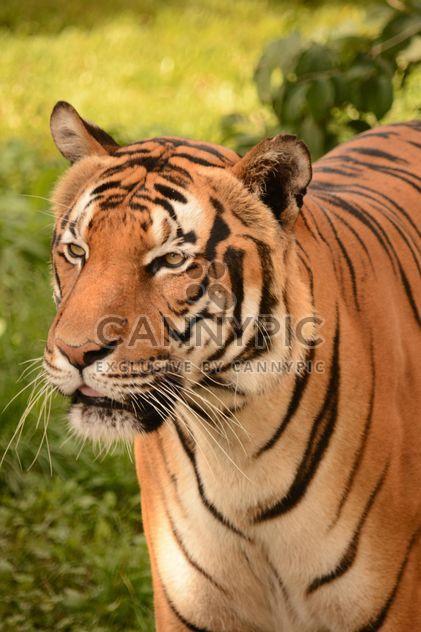 Tigre se bouchent - image gratuit #201709