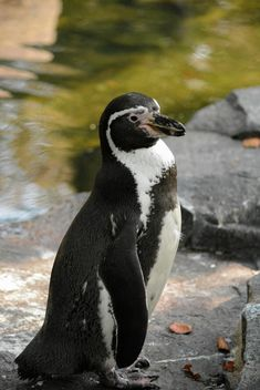Penguin On The Walk - Free image #225349