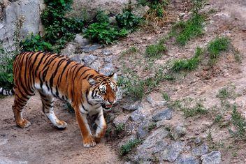Tiger - Free image #229379