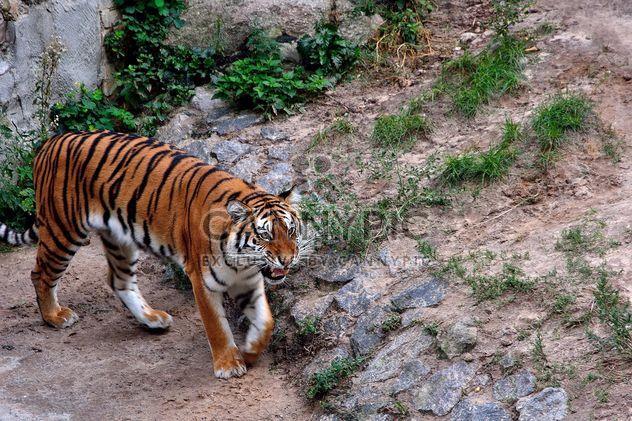 Tigre - image gratuit(e) #229379