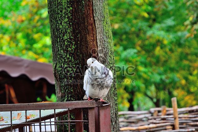 Pigeon blanc - image gratuit(e) #229429