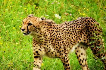 Cheetah on green grass - image gratuit #229489