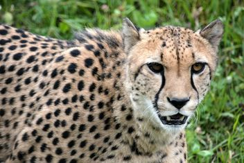 Cheetah on green grass - image #229499 gratis